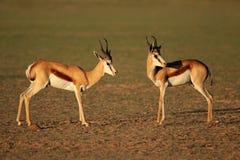 Springbok antelopes in natural habitat Royalty Free Stock Photo