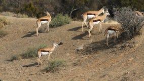 Springbok antelopes in natural habitat stock video