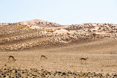 Springbok antelopes in red Sossusvlei dunes. Stock Photography