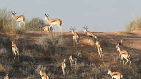 Springbok antelopes on sand dune stock video footage