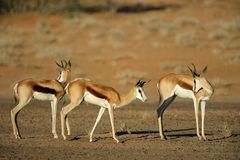 Springbok antelopes, South Africa Stock Photography