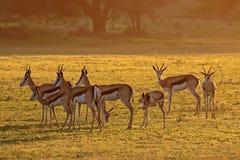 Springbok antelopes at sunrise Stock Image