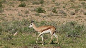 Springbok antelopes walking in line stock video footage