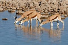 Springbok antelopes at waterhole. Springbok antelopes (Antidorcas marsupialis) drinking at a waterhole, Etosha National Park, Namibia Stock Photography