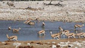 Springbok antelopes at waterhole stock footage