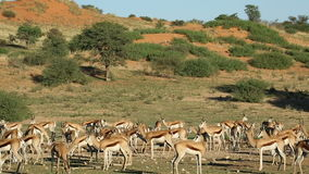 Springbok antelopes at waterhole stock video footage