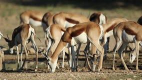 Springbok antelopes at waterhole stock video