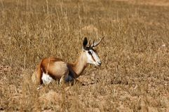 Springbok (Antidorcas marsupialis) Royalty Free Stock Photo