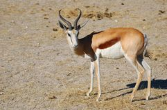 Springbok (Antidorcas marsupialis) Royalty Free Stock Image