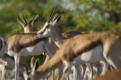 Springbok, Springbok, Antidorcas marsupialis stock photo
