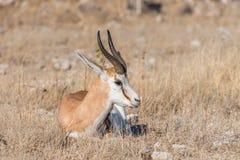 Springbok, Antidorcas-marsupialis, die tussen gras leggen royalty-vrije stock foto's