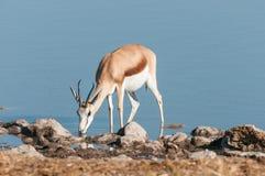 Springbok Antidorcas marsupialis drinking water in a waterhole Stock Image
