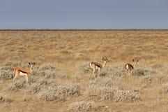 Springbok (Antidorcas Marsupialis), Etosha Namibia Royalty Free Stock Image