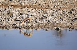 Springbok (Antidorcas Marsupialis), Etosha Namibia. Springbok (Antidorcas Marsupialis ), Etosha National Park, Namibia, Southern Africa Royalty Free Stock Photo