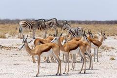 Springbok Antidorcas marsupialis in Etosha, Namibia. Antelope Springbok Antidorcas marsupialis and zebra, Etosha national park, Namibia wildlife Royalty Free Stock Image