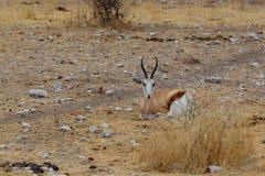 Springbok Antidorcas marsupialis Royalty Free Stock Images