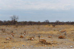 Springbok Antidorcas marsupialis. Etosha national Park, Ombika, Kunene, Namibia. True wildlife photography Stock Photo