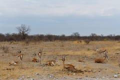 Springbok Antidorcas marsupialis Stock Photo