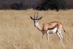 Springbok Antidorcas marsupialis Royalty Free Stock Photo