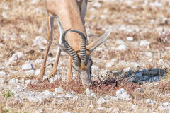 Springbok, Antidorcas marsupialis, grazing. Close-up of a springbok, Antidorcas marsupialis, grazing in Northern Namibia Royalty Free Stock Photos