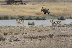 Springbok, Antidorcas marsupialis. Group by water hole Namibia, August 2016 Stock Images