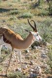 Springbok. Antidorcas marsupialis isolated on the savannah of Etosha, Namibia Stock Photo