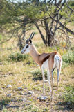 Springbok. Antidorcas marsupialis isolated on the savannah of Etosha, Namibia Stock Images