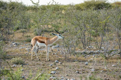 Springbok. Antidorcas marsupialis isolated on the savannah of Etosha, Namibia Stock Photos