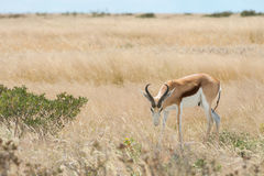 Springbok. Antidorcas marsupialis isolated on the savannah of Etosha, Namibia Royalty Free Stock Images