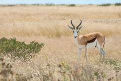 Springbok. Antidorcas marsupialis isolated on the savannah of Etosha, Namibia Royalty Free Stock Image