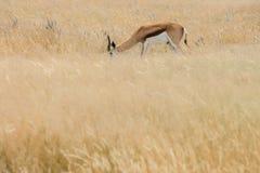 Springbok. Antidorcas marsupialis isolated on the savannah of Etosha, Namibia Royalty Free Stock Photos