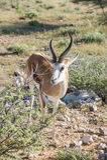 Springbok. & x28;Antidorcas marsupialis& x29; isolated on the savannah of Etosha, Namibia Stock Photo
