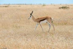 Springbok. & x28;Antidorcas marsupialis& x29; isolated on the savannah of Etosha, Namibia Stock Image