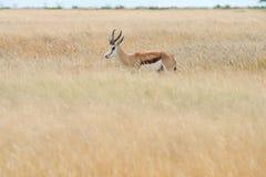 Springbok. & x28;Antidorcas marsupialis& x29; isolated on the savannah of Etosha, Namibia Royalty Free Stock Photo