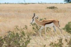 Springbok. Antidorcas marsupialis isolated on the savannah of Etosha, Namibia Stock Photography
