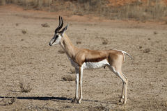 Springbok, Antidorcas marsupialis, Kalahari, South Africa. The Springbok, Antidorcas marsupialis, Kalahari, South Africa Stock Photo