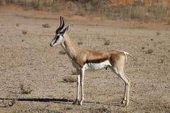 Springbok, Antidorcas marsupialis, Kalahari, South Africa Stock Photo