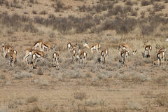 Springbok, Antidorcas marsupialis, Kalahari, South Africa. Group Springbok, Antidorcas marsupialis, Kalahari, South Africa Stock Photography