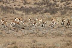 Springbok, Antidorcas marsupialis, Kalahari, South Africa Stock Photography