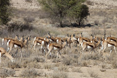 Springbok, Antidorcas marsupialis, Kalahari, South Africa. Group Springbok, Antidorcas marsupialis, Kalahari, South Africa Royalty Free Stock Image