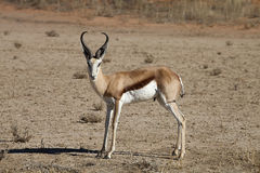 Springbok, Antidorcas marsupialis, Kalahari, South Africa. One Springbok, Antidorcas marsupialis, Kalahari, South Africa Royalty Free Stock Photo