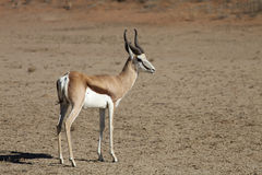 Springbok, Antidorcas marsupialis, Kalahari, South Africa. One Springbok, Antidorcas marsupialis, Kalahari, South Africa Stock Photos