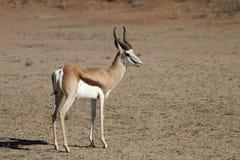 Springbok, Antidorcas marsupialis, Kalahari, South Africa Stock Photos