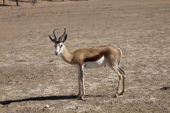 Springbok, Antidorcas marsupialis, Kalahari, South Africa Royalty Free Stock Photo