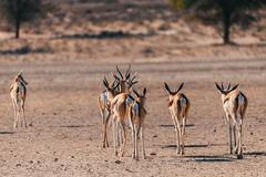 Springbok Antidorcas marsupialis in Kgalagadi. Back view of Springbok Antidorcas marsupialis in dry Kgalagadi Transfontier park reserve, South Africa. Wildlife Royalty Free Stock Photo