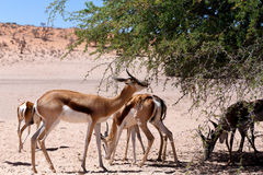 Springbok Antidorcas marsupialis in Kgalagadi. Herd of Springbok Antidorcas marsupialis grazzing on tree shade, Kgalagadi Transfontier park, South Africa Royalty Free Stock Photo