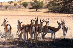Springbok Antidorcas marsupialis in Kgalagadi. Herd of Springbok Antidorcas marsupialis in tree shade, Kgalagadi Transfontier park, South Africa. wildlife Stock Image