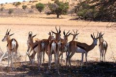 Springbok Antidorcas marsupialis in Kgalagadi Stock Image