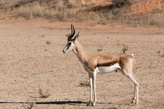 Springbok Antidorcas marsupialis in Kgalagadi. Portrait of Springbok Antidorcas marsupialis, Kgalagadi Transfontier park, South Africa. True wildlife photography Royalty Free Stock Images