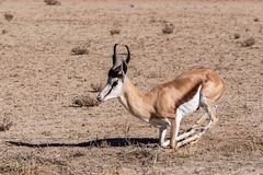 Springbok Antidorcas marsupialis in Kgalagadi. Portrait of Springbok Antidorcas marsupialis, Kgalagadi Transfontier park, South Africa. True wildlife photography Stock Photo
